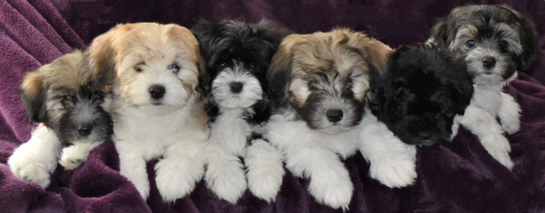 havanese-puppies